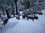 Стадо зимних буйволов - игра Готика 3